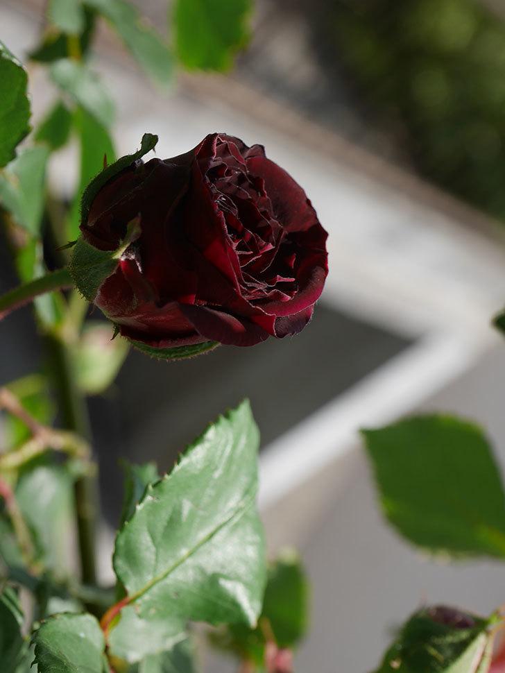 アンプルール・デュ・マロック(ツルバラ)の花が少し咲いた。2020年-3.jpg