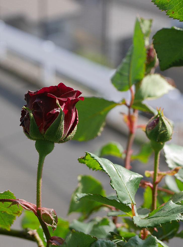 アンプルール・デュ・マロック(ツルバラ)の花が少し咲いた。2020年-6.jpg
