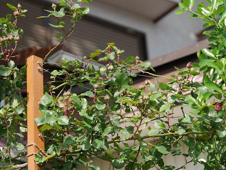 アンプルール・デュ・マロック(ツルバラ)の花が少し咲いた。2020年-7.jpg