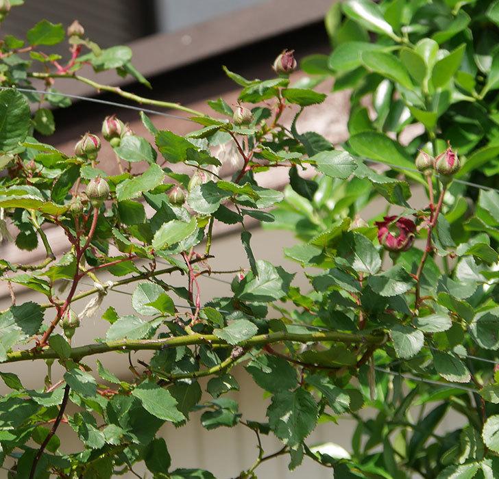 アンプルール・デュ・マロック(ツルバラ)の花が少し咲いた。2020年-8.jpg