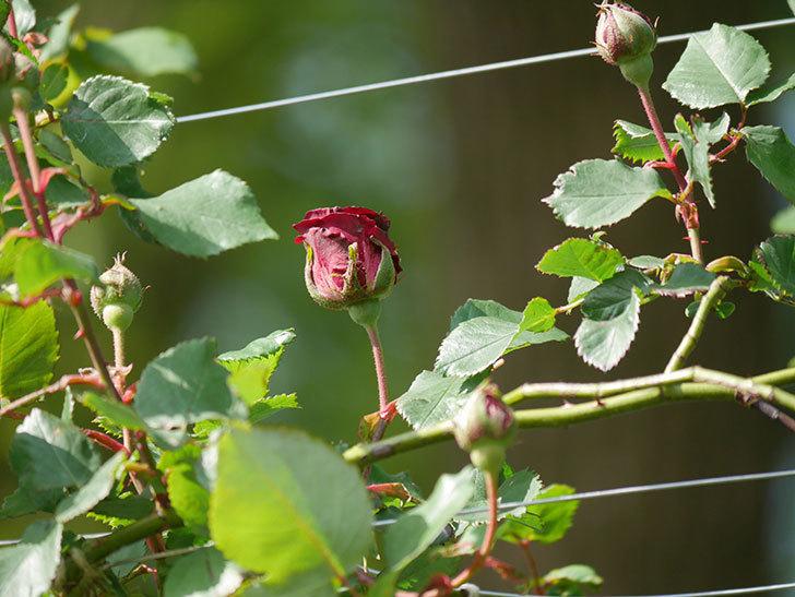 アンプルール・デュ・マロック(ツルバラ)の花が少し咲いた。2020年-9.jpg