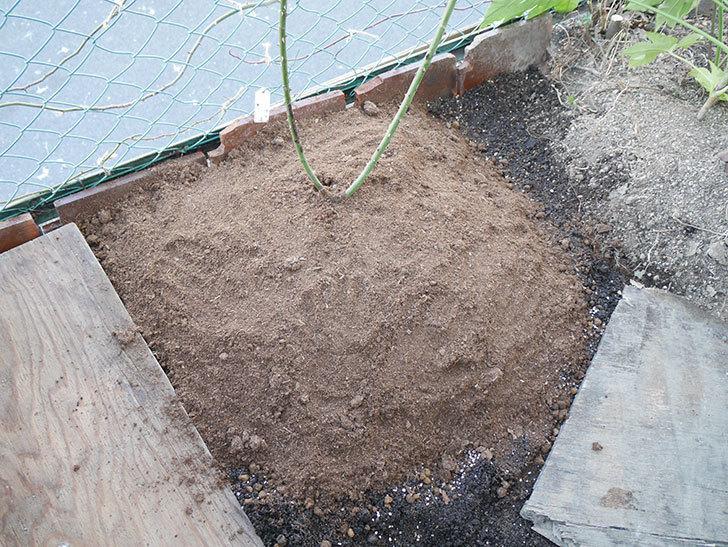 アンプルール・デュ・マロック(ツルバラ)を地植えして誘引した。2019年-28.jpg