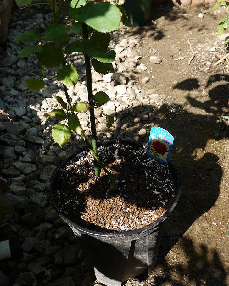 アンプルール・デュ・マロック(ツルバラ)EUロングスリット鉢に鉢増しした。2016-7.jpg