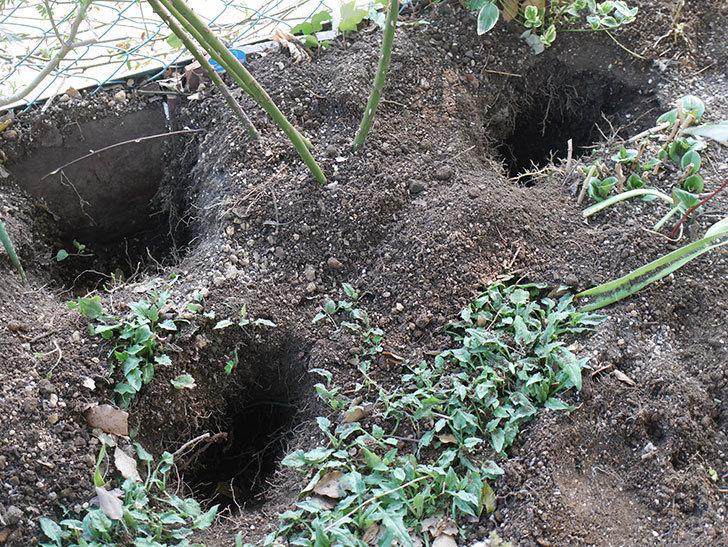アンプルール・デュ・マロック(Empereur du Maroc)に寒肥を施した。ツルバラ。2021年-001.jpg