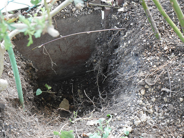 アンプルール・デュ・マロック(Empereur du Maroc)に寒肥を施した。ツルバラ。2021年-005.jpg
