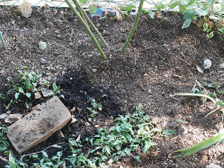 アンプルール・デュ・マロック(Empereur du Maroc)に寒肥を施した。ツルバラ。2021年-019.jpg