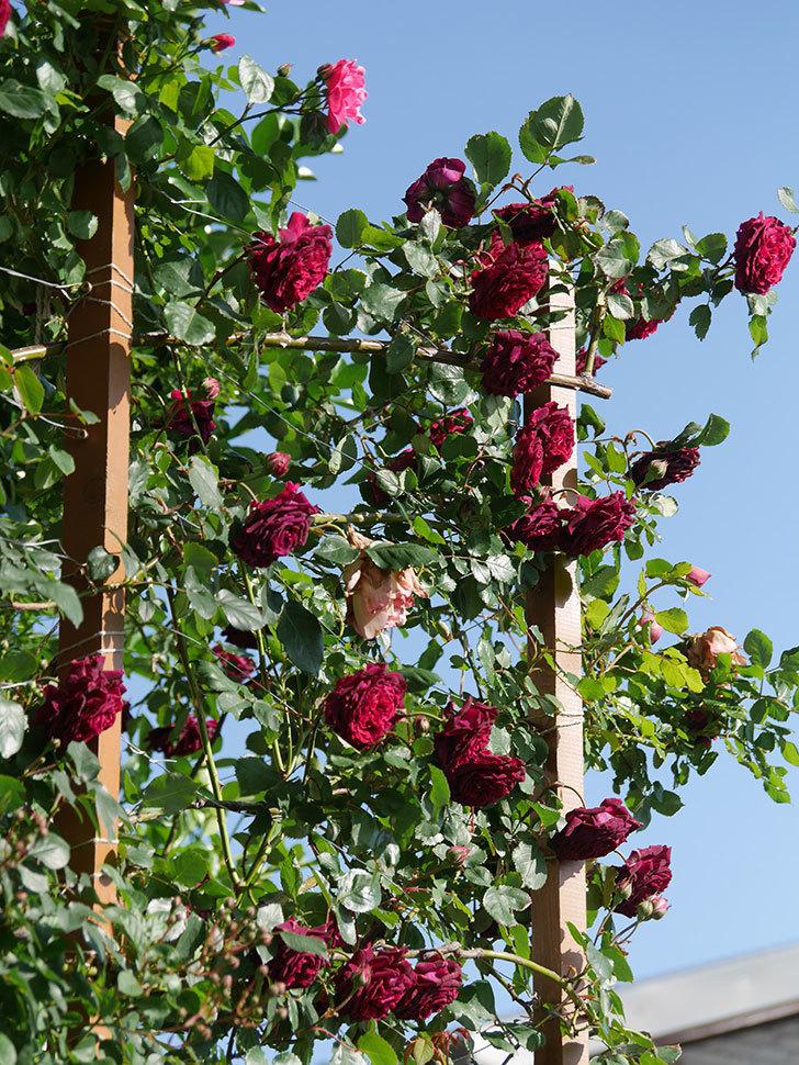 アンプルール・デュ・マロック(Empereur du Maroc)の花がたくさん咲いた。ツルバラ。2021年-092.jpg