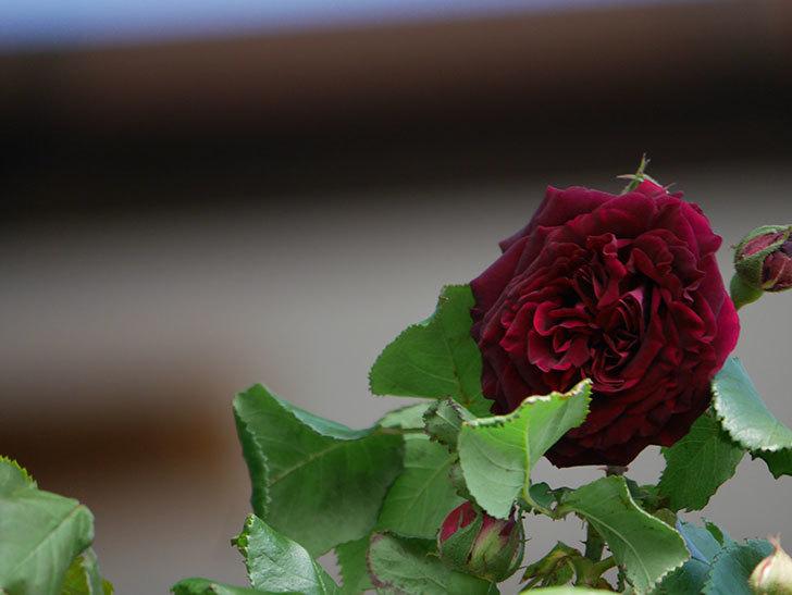 アンプルール・デュ・マロック(Empereur du Maroc)の花が咲いた。ツルバラ。2021年-001.jpg