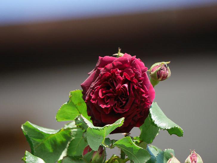 アンプルール・デュ・マロック(Empereur du Maroc)の花が咲いた。ツルバラ。2021年-002.jpg