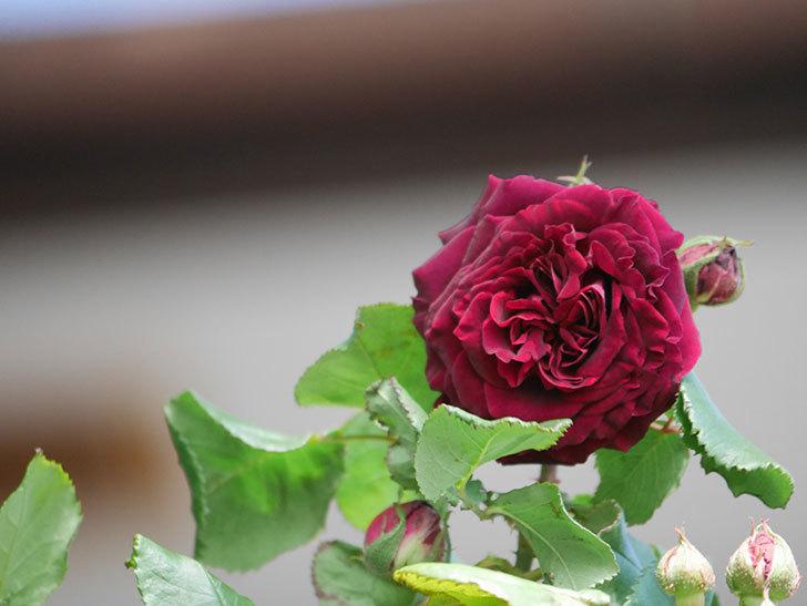 アンプルール・デュ・マロック(Empereur du Maroc)の花が咲いた。ツルバラ。2021年-003.jpg
