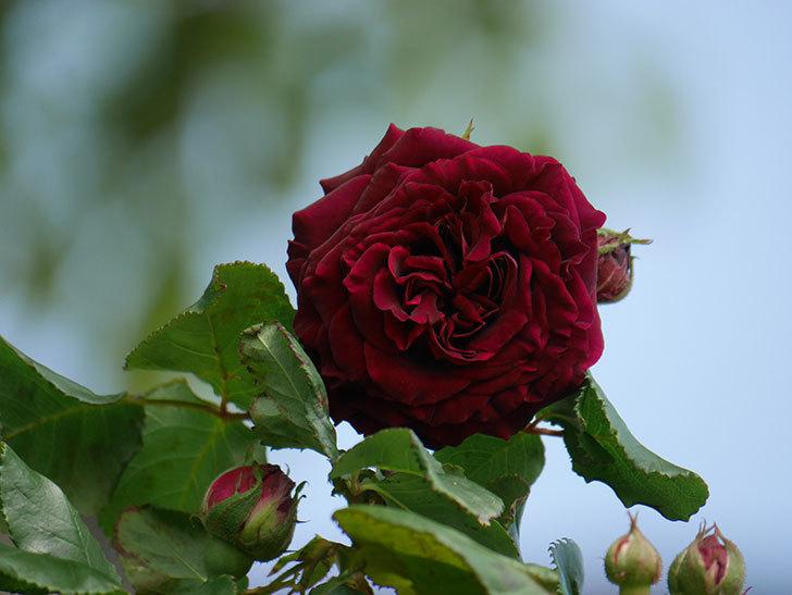 アンプルール・デュ・マロック(Empereur du Maroc)の花が咲いた。ツルバラ。2021年-005.jpg