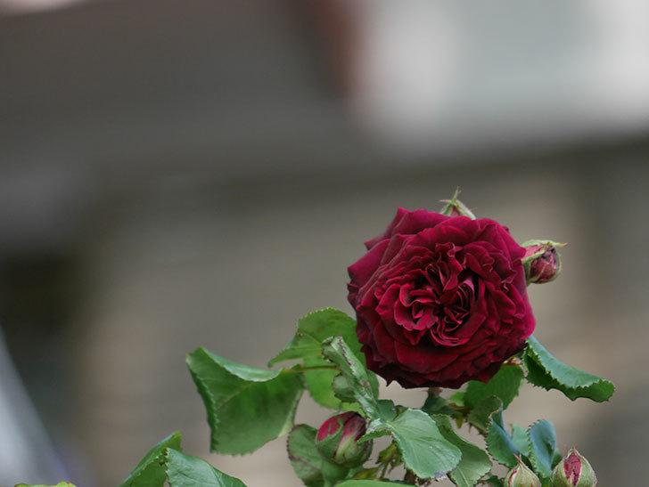 アンプルール・デュ・マロック(Empereur du Maroc)の花が咲いた。ツルバラ。2021年-010.jpg