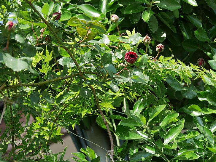 アンプルール・デュ・マロック(Empereur du Maroc)の花が咲いた。ツルバラ。2021年-015.jpg