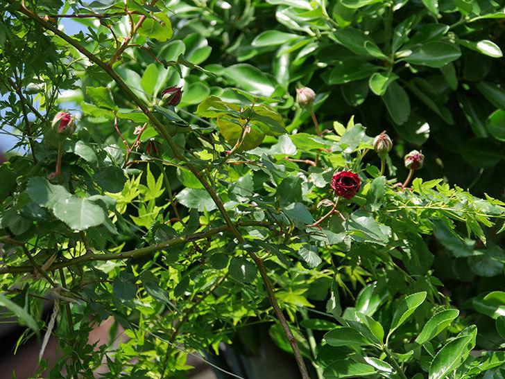 アンプルール・デュ・マロック(Empereur du Maroc)の花が咲いた。ツルバラ。2021年-016.jpg