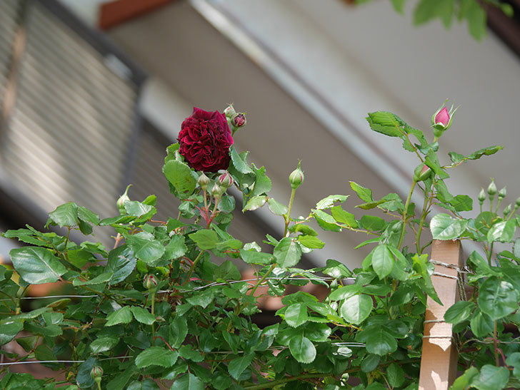 アンプルール・デュ・マロック(Empereur du Maroc)の花が増えてきた。ツルバラ。2021年-001.jpg