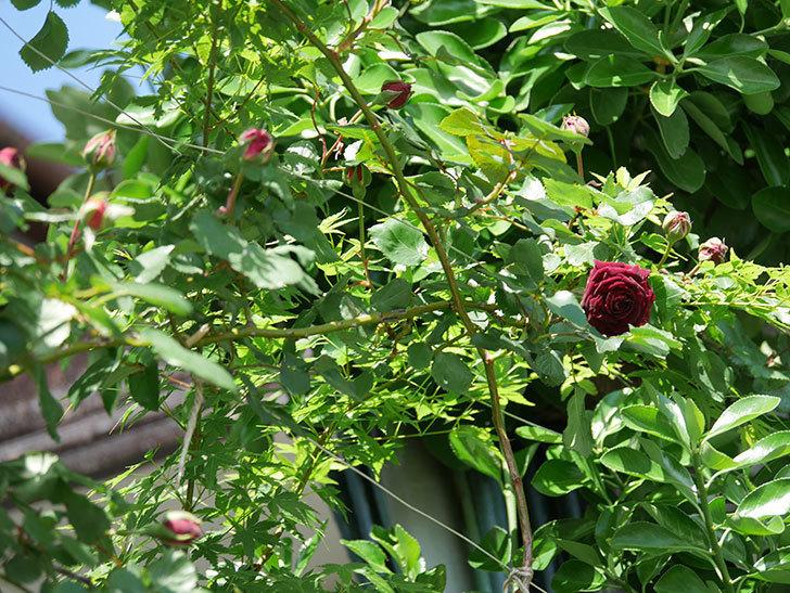 アンプルール・デュ・マロック(Empereur du Maroc)の花が増えてきた。ツルバラ。2021年-005.jpg