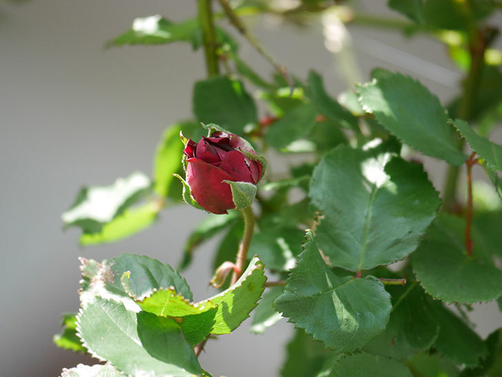 アンプルール・デュ・マロック(Empereur du Maroc)の花が増えてきた。ツルバラ。2021年-008.jpg
