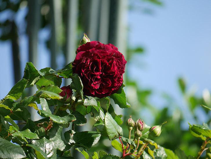 アンプルール・デュ・マロック(Empereur du Maroc)の花が増えてきた。ツルバラ。2021年-009.jpg