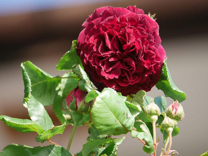 アンプルール・デュ・マロック(Empereur du Maroc)の花が増えてきた。ツルバラ。2021年-010.jpg