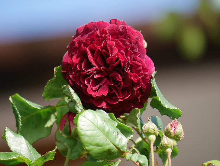 アンプルール・デュ・マロック(Empereur du Maroc)の花が増えてきた。ツルバラ。2021年-011.jpg