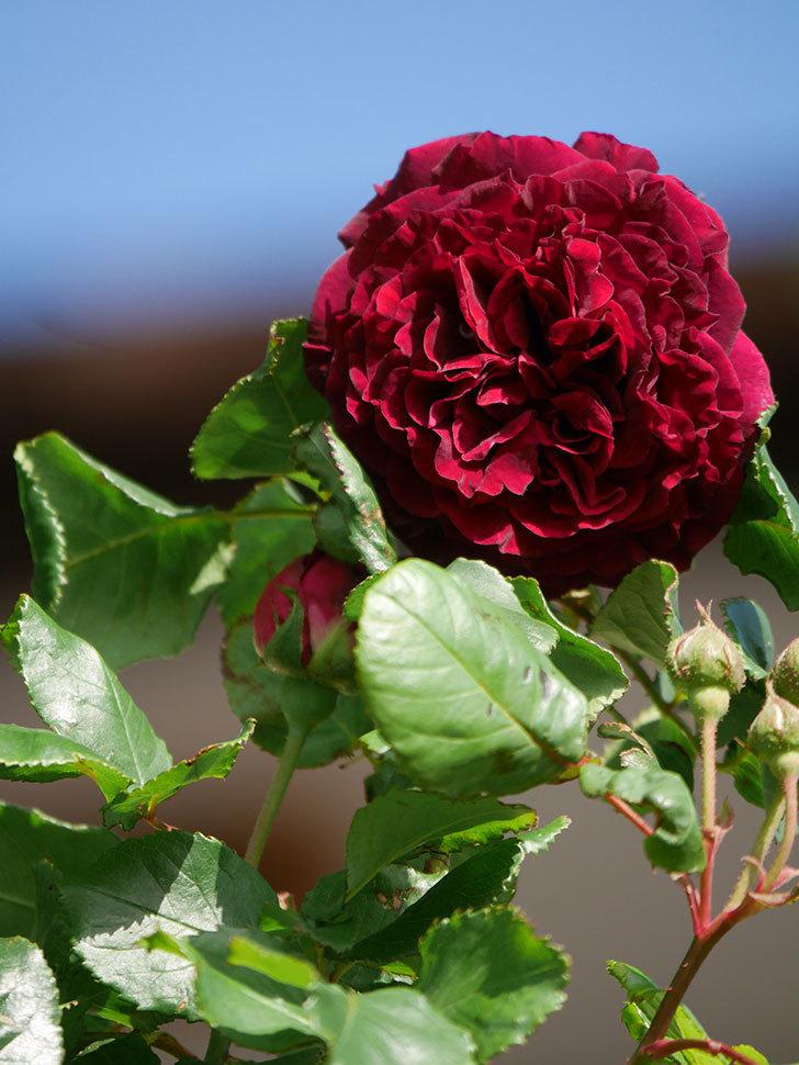 アンプルール・デュ・マロック(Empereur du Maroc)の花が増えてきた。ツルバラ。2021年-012.jpg