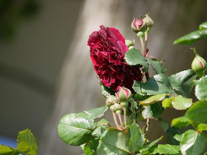 アンプルール・デュ・マロック(Empereur du Maroc)の花が増えてきた。ツルバラ。2021年-016.jpg