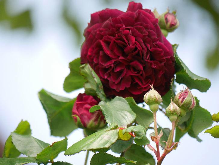 アンプルール・デュ・マロック(Empereur du Maroc)の花が増えてきた。ツルバラ。2021年-018.jpg
