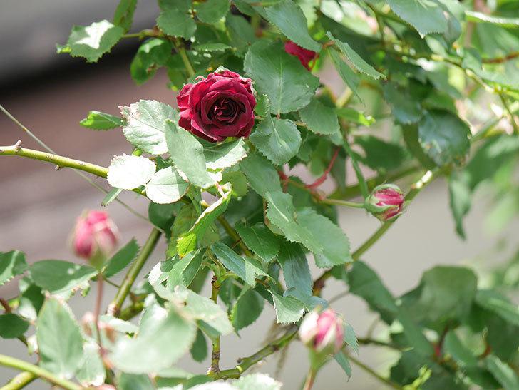 アンプルール・デュ・マロック(Empereur du Maroc)の花が増えてきた。ツルバラ。2021年-020.jpg