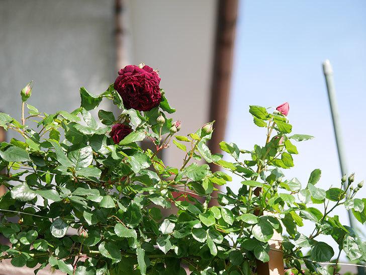 アンプルール・デュ・マロック(Empereur du Maroc)の花が増えてきた。ツルバラ。2021年-022.jpg