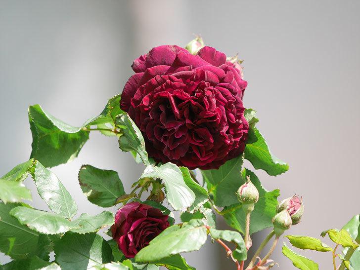 アンプルール・デュ・マロック(Empereur du Maroc)の花が増えてきた。ツルバラ。2021年-023.jpg