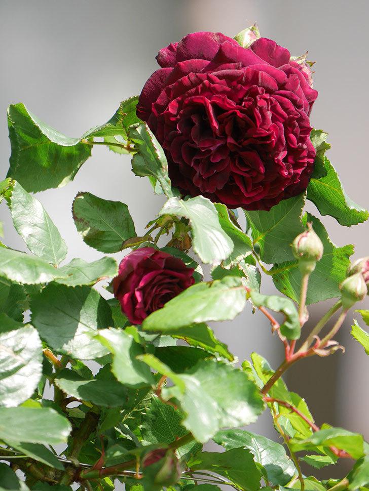 アンプルール・デュ・マロック(Empereur du Maroc)の花が増えてきた。ツルバラ。2021年-024.jpg