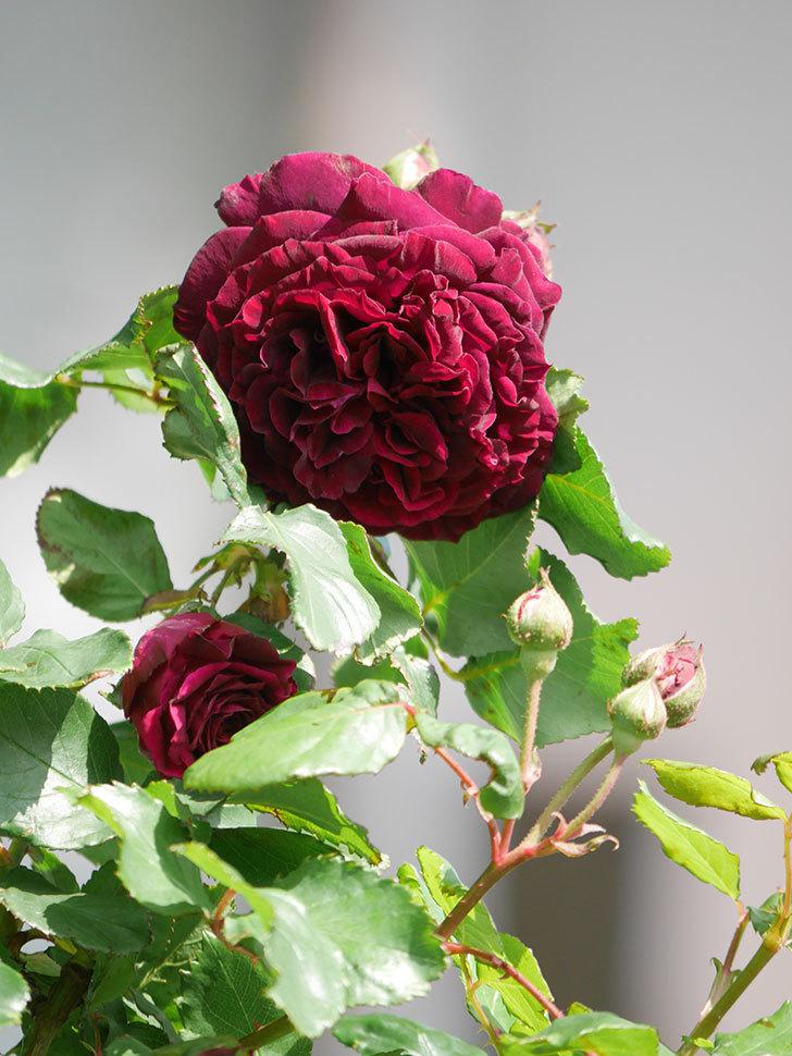 アンプルール・デュ・マロック(Empereur du Maroc)の花が増えてきた。ツルバラ。2021年-025.jpg