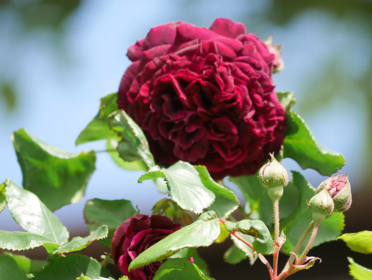 アンプルール・デュ・マロック(Empereur du Maroc)の花が増えてきた。ツルバラ。2021年-026.jpg