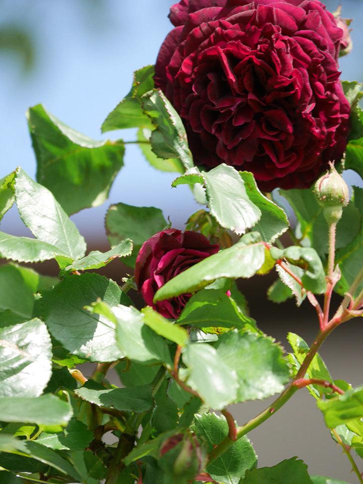 アンプルール・デュ・マロック(Empereur du Maroc)の花が増えてきた。ツルバラ。2021年-027.jpg