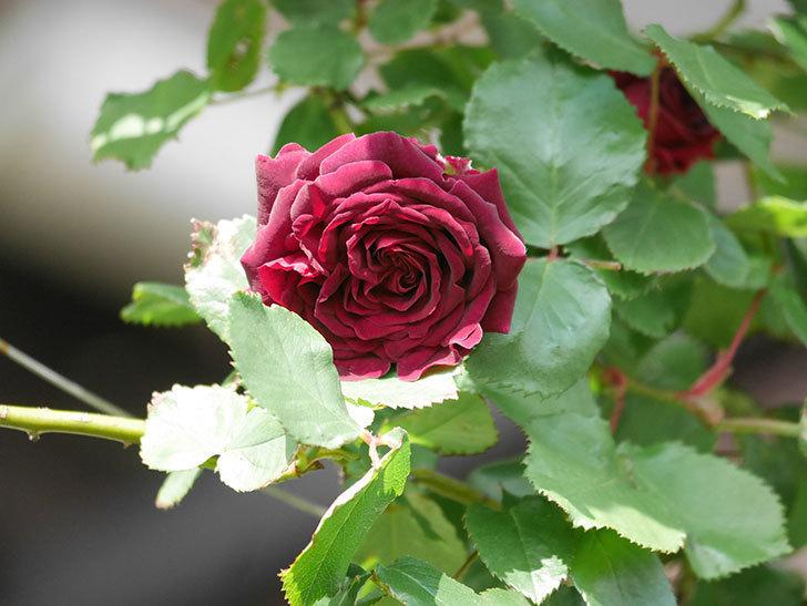 アンプルール・デュ・マロック(Empereur du Maroc)の花が増えてきた。ツルバラ。2021年-030.jpg