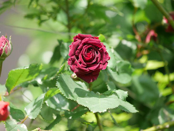 アンプルール・デュ・マロック(Empereur du Maroc)の花が増えてきた。ツルバラ。2021年-031.jpg