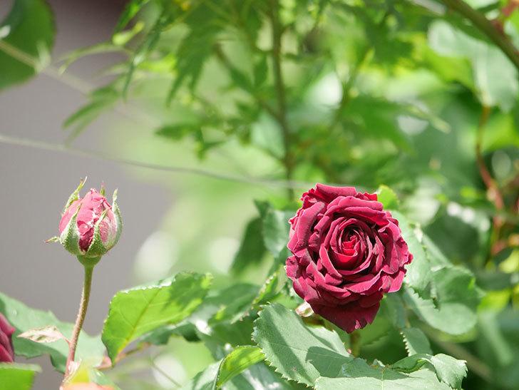 アンプルール・デュ・マロック(Empereur du Maroc)の花が増えてきた。ツルバラ。2021年-032.jpg