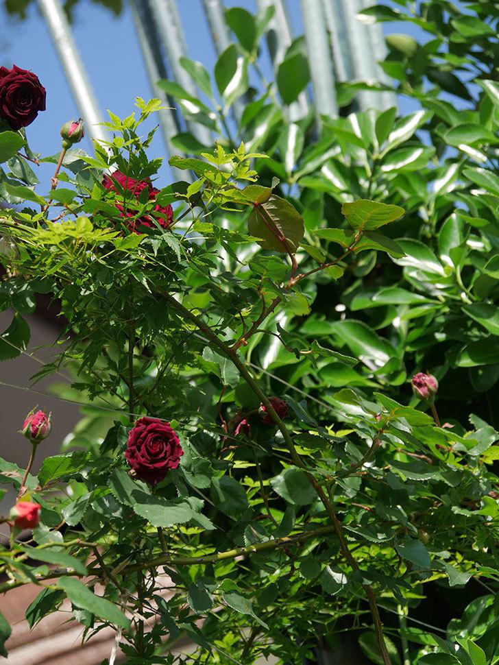 アンプルール・デュ・マロック(Empereur du Maroc)の花が増えてきた。ツルバラ。2021年-034.jpg