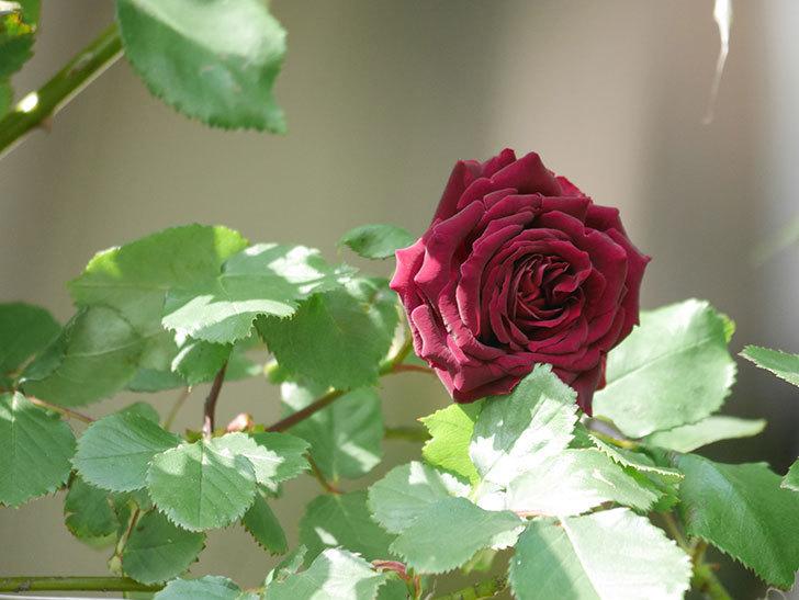 アンプルール・デュ・マロック(Empereur du Maroc)の花が増えてきた。ツルバラ。2021年-036.jpg