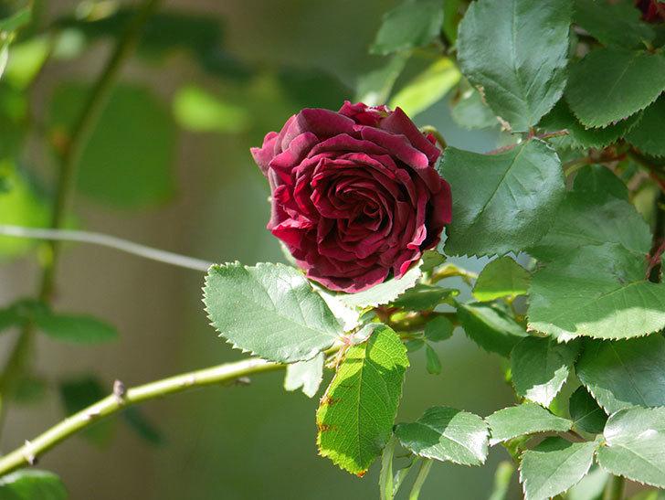 アンプルール・デュ・マロック(Empereur du Maroc)の花が増えてきた。ツルバラ。2021年-038.jpg