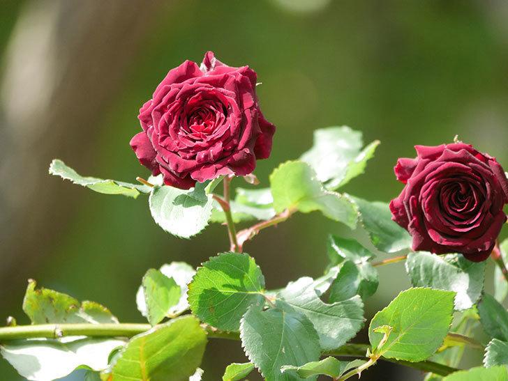 アンプルール・デュ・マロック(Empereur du Maroc)の花が増えてきた。ツルバラ。2021年-042.jpg