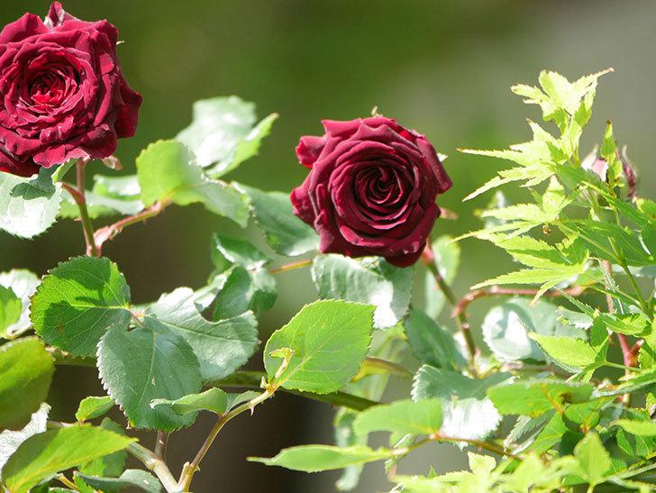 アンプルール・デュ・マロック(Empereur du Maroc)の花が増えてきた。ツルバラ。2021年-043.jpg