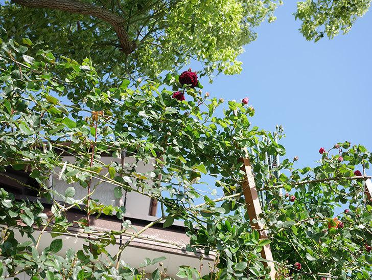 アンプルール・デュ・マロック(Empereur du Maroc)の花が増えてきた。ツルバラ。2021年-045.jpg
