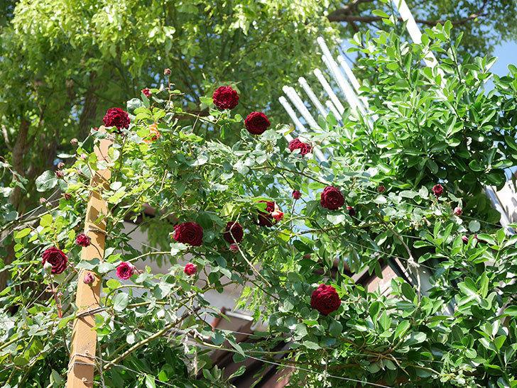 アンプルール・デュ・マロック(Empereur du Maroc)の花が増えてきた。ツルバラ。2021年-047.jpg