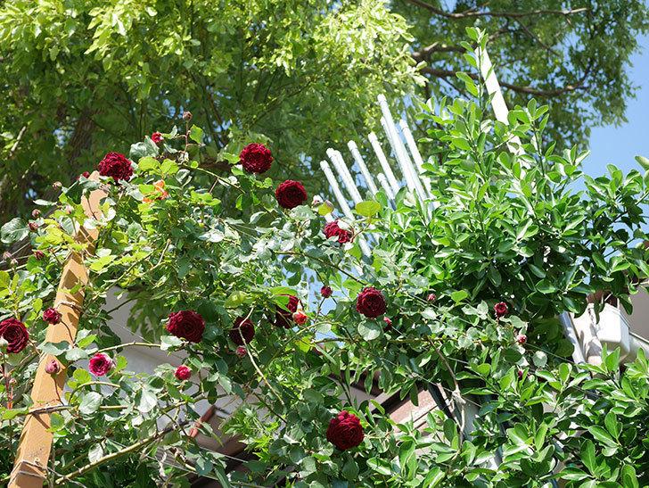 アンプルール・デュ・マロック(Empereur du Maroc)の花が増えてきた。ツルバラ。2021年-048.jpg