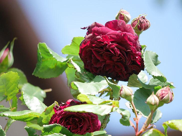 アンプルール・デュ・マロック(Empereur du Maroc)の花が増えてきた。ツルバラ。2021年-049.jpg