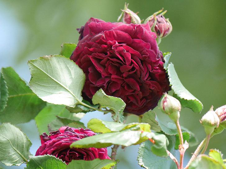 アンプルール・デュ・マロック(Empereur du Maroc)の花が増えてきた。ツルバラ。2021年-050.jpg