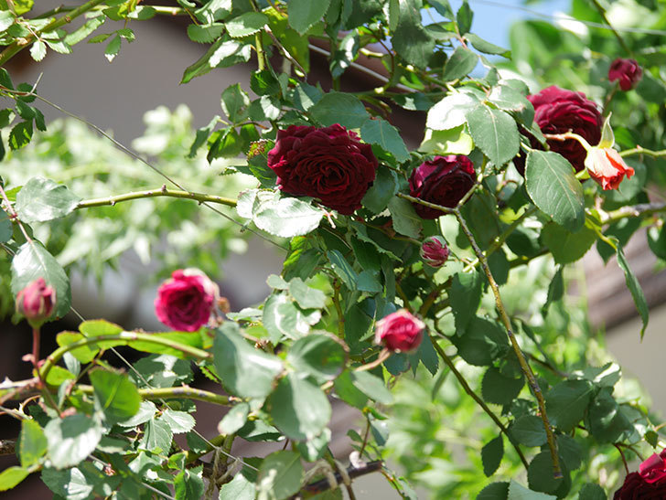 アンプルール・デュ・マロック(Empereur du Maroc)の花が増えてきた。ツルバラ。2021年-051.jpg