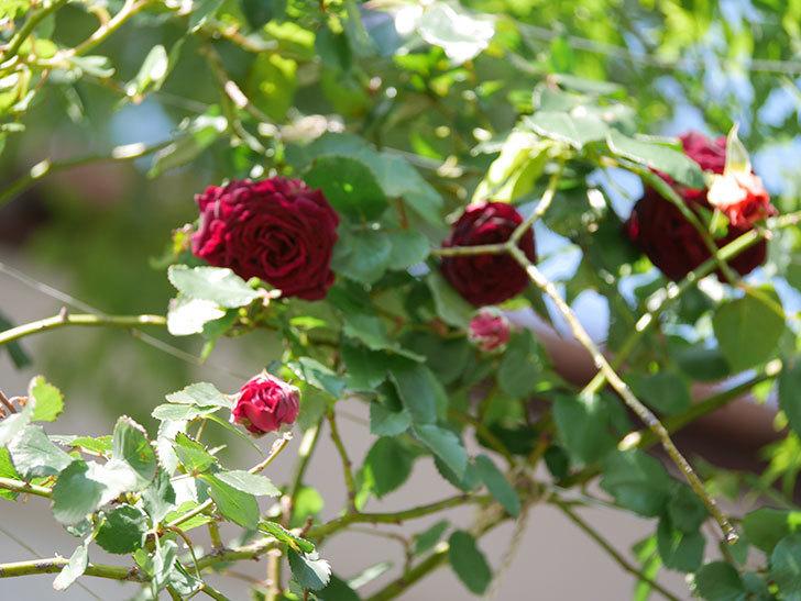 アンプルール・デュ・マロック(Empereur du Maroc)の花が増えてきた。ツルバラ。2021年-052.jpg