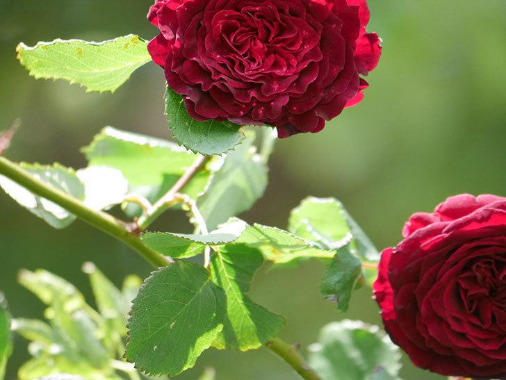 アンプルール・デュ・マロック(Empereur du Maroc)の花が増えてきた。ツルバラ。2021年-053.jpg